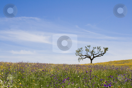 Lonely Tree stock photo, Beautiful spring landscape - lonely tree on the top of a hill with grassland and oats. by Paulo Resende