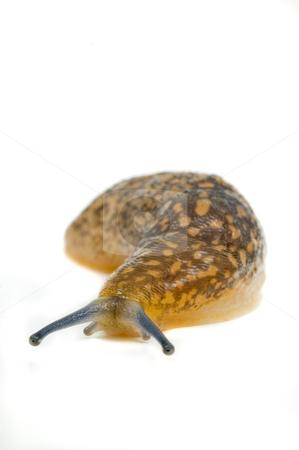 Common garden slug stock photo, Garden slug on white background, close up. by Pablo Caridad