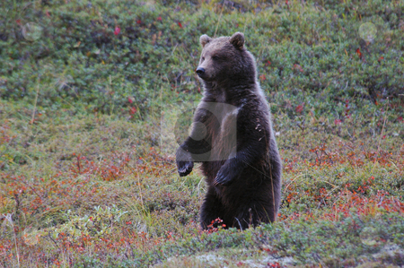 Grizzly Bear stock photo, A grizzly bear standing on its hind legs by Dee Murphy