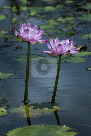 Pink water lilies stock photo, A pond full of pink water lillies in rural australia by Stephen Gibson