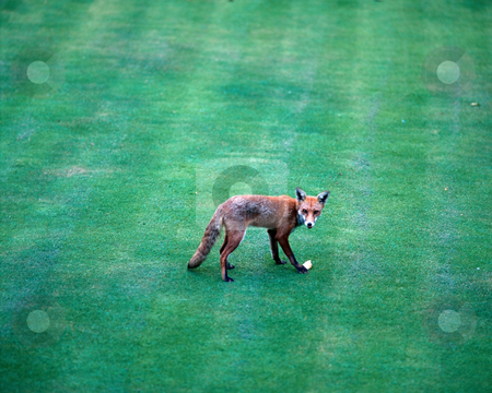 Fox on a lawn stock photo, Fox on a lawn by Mpixis World