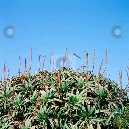 MPIXIS250289 stock photo, Aloe plants under blue sky by Mpixis World