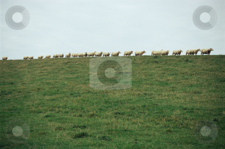 MPIXIS250914 stock photo, Row of sheep by Mpixis World