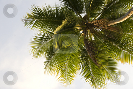 Palm Tree Close-up stock photo, Close up upward view of a lone palm tree against the sky background by A Cotton Photo