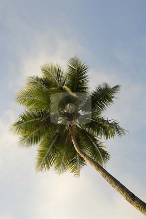 Tropical Palm Tree stock photo, Upward view of a lone tropical palm tree by A Cotton Photo