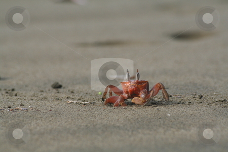 Crab on the beach stock photo, A red ghost crab on a sandy beach. by Johannes Reschl