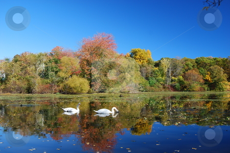 Swans on a lake stock photo, Swans on a lake during the fall by Bill Parmentier