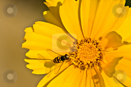 Bee on a Yellow Flower stock photo, A bee casting its shadow on a yellow flower. by Eric Gaston