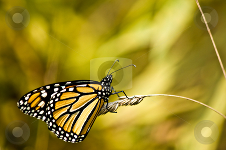 Monarch Butterfly stock photo, A monarch butterfly on wheat. by Eric Gaston
