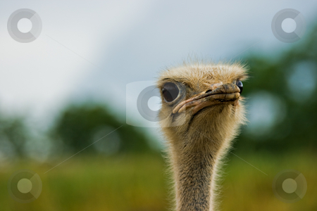 Ostrich Portrait stock photo, A close up shot of an ostrich. by Eric Gaston