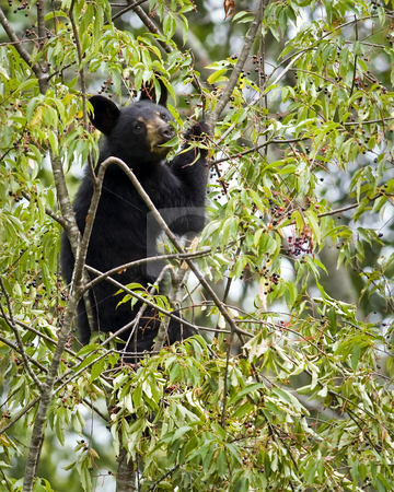 Black bear cub in wild cherry tree stock photo, Black bear cub high in a wild black cherry tree feeding on ripe cherries. Location is east Tennessee. by Greg Hutson