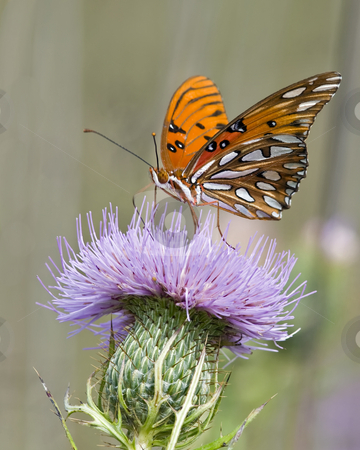 Gulf fritillary butterfly feeding on Bull thistle stock photo, This Gulf fritillary butterfly is seen collecting nector from a Bull thistle plant in east Tennessee. I searched an entire 40 acre field of thistle looking for another Gulf fritillary, but this was the only one. by Greg Hutson