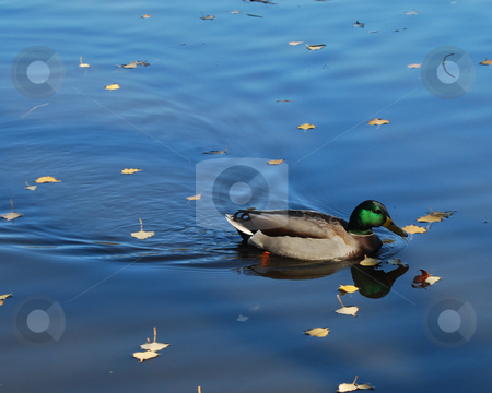 Duck stock photo, Duck floating in a pond by Bill Parmentier