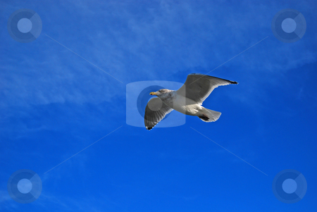 Flying Seagull stock photo, Seagull flying through clear blue sky by Bill Parmentier