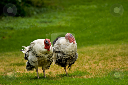 Two turkeys walking in the grass. stock photo,  by Eric Gaston