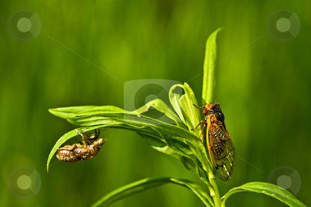 Cicada and Shell stock photo, A cicada and the its shell. by Eric Gaston