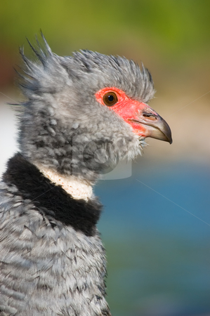 Southern screamer  stock photo, Southern screamer (Chauna torquata) by Pablo Caridad
