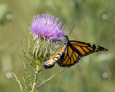 Monarch butterfly feeding on Bull thistle stock photo, The Monarch butterfly (Danaus plexippus) is feeding on Bull thistle (Cirsium vulgare) The season is early fall. The site is east Tennessee. by Greg Hutson
