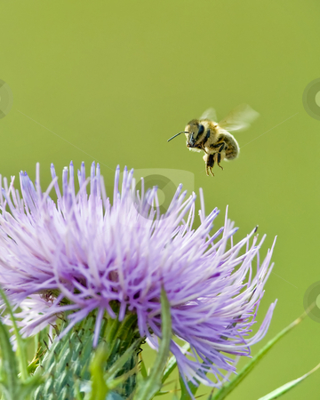 Honey bee landing on Bull thistle stock photo, The Honey bee (Apis mellifera) is preparing to feed on Bull thistle (Cirsium vulgare) The season is early fall. The site is east Tennessee. by Greg Hutson
