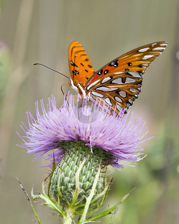 Gulf fritillary butterfly on Bull thistle 2 stock photo, This Gulf fritillary butterfly (Agraulis vanillae) is actively feeding on Bull thistle (Cirsium vulgare). The season is early fall. The site is east Tennessee. by Greg Hutson
