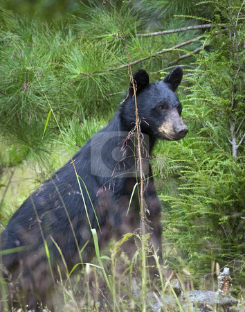 Black bear sow 1 stock photo, This eastern Black bear (Ursus americanus) sow is attentively watching her single cub feed on wild black cherries. The site is east Tennessee. Free roaming bear by Greg Hutson