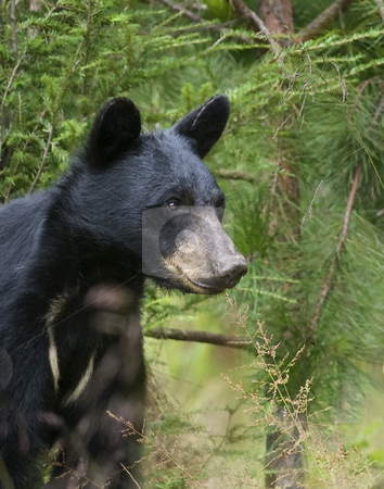Black bear sow 2 stock photo, This eastern Black bear (Ursus americanus) sow is attentively watching her single cub feed on wild black cherries. The site is east Tennessee. Free roaming bear. by Greg Hutson