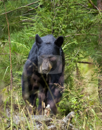 Black bear sow 3 stock photo, This eastern Black bear (Ursus americanus) sow is attentively watching me, watching her single cub feed on wild black cherries. The site is east Tennessee. The bear is free roaming. by Greg Hutson