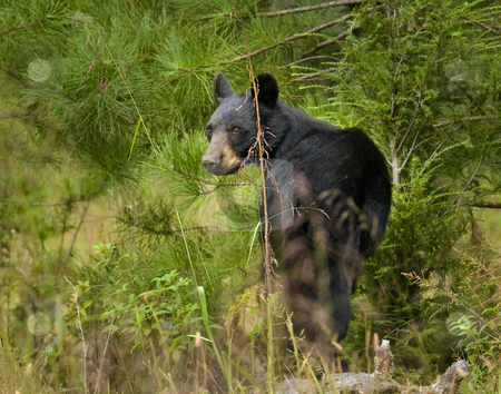 Black bear sow 4 stock photo, This eastern Black bear (Ursus americanus) sow is attentively watching me, and decides I am not a threat. She moves off slowly into the brush. The site is east Tennessee. The bear is free roaming. by Greg Hutson