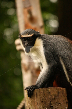 Small monkey stock photo, Small black and white monkey by Louise Blankley