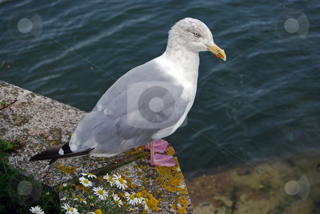 Watching stock photo, Seagull watching the sea in hope by Paul Phillips