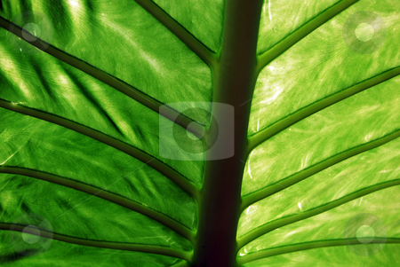 Veins stock photo, Back of a large green leaved tropical plant by Paul Phillips