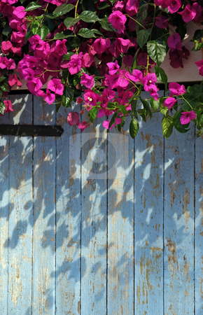 Vibrant stock photo, Bougainvillea growing over a blue gate in Greece, Europe by Paul Phillips