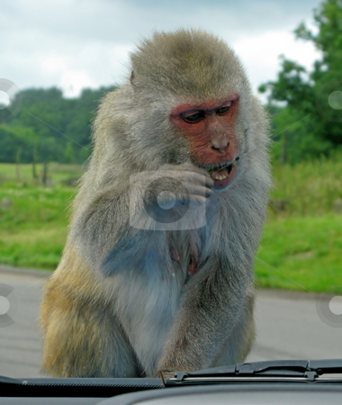 Monkey stock photo, A Monkey trying to eat a stick. by Lucy Clark