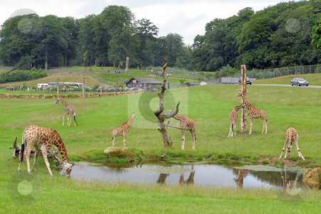 Giraffes Safari Park stock photo, A few giraffes in a safari park. by Lucy Clark