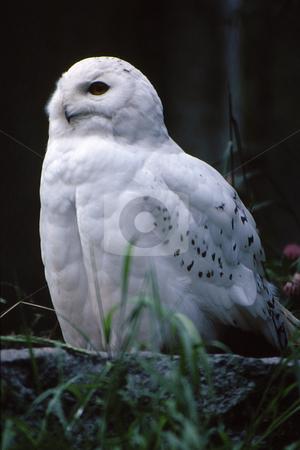 Spotted white owl stock photo, Spotted white owl in habitat by Joseph Ligori