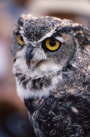 Owl stock photo, Owl with eyes open. gray and white coloring by Joseph Ligori