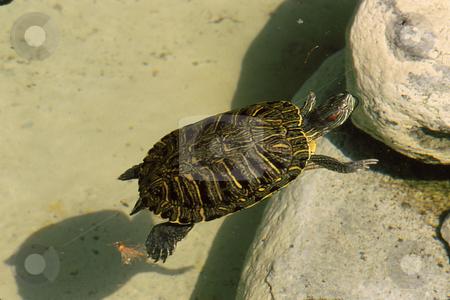 Turtle stock photo, Turtle climbing onto rocks from water by Joseph Ligori