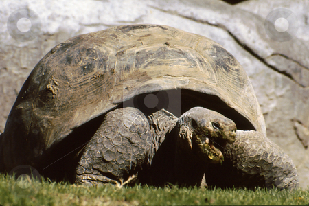 Land Tortise stock photo, Large land tortise with mouth open by Joseph Ligori