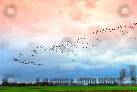 Goose migration stock photo, Large group of goose above Dutch landscape by winter evening by Wino Evertz