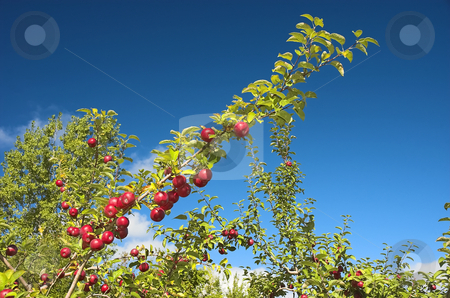 Several apples on a branch stock photo, Bright red and ripe apples on a branch against a deep blue sky. by Pierre Landry