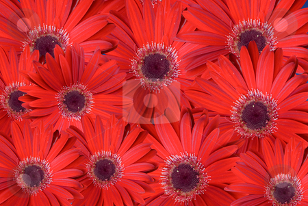 Red background stock photo, Red background composed with flowers. by Serge VILLA