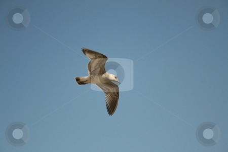 Seagul flying stock photo,  by Luis Agui