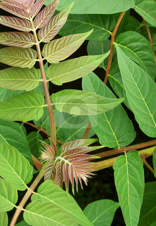 Tree of Heaven (Ailanthus altissima) stock photo, Leaves of the invasive Tree of Heaven (Ailanthus altissima), also known as Stinking Sumac by Kathy Piper