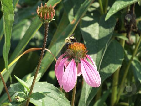 Bee on a Pink Rudbeckia stock photo, Bee on a beautiful pink rudbeckia by Maria Alessandra Nusiner
