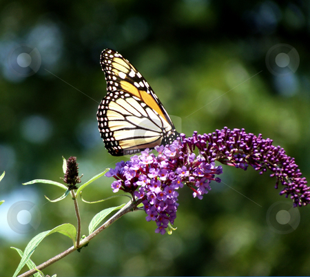 Butterfly on a Purple Buddleia stock photo, Beautiful big butterfly on a purple buddleia by Maria Alessandra Nusiner