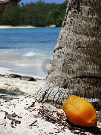 Yellow Coconut stock photo, Yellow coconut next to a palm tree at Morrocy National Park, Venezuela by Maria Alessandra Nusiner