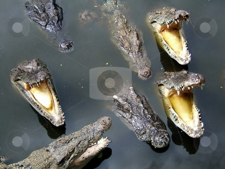 Group of crocodiles stock photo,  by Gautier Willaume