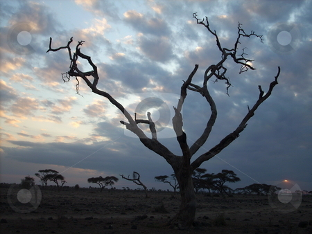 Dead tree silhouetted against changing sky stock photo, A dead tree in the Amboseli silhouetted against the changing evening sky. by Rose Nthiwa