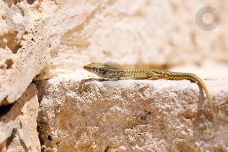 Lizard stock photo, Maltese wall lizard by Tyler Olson