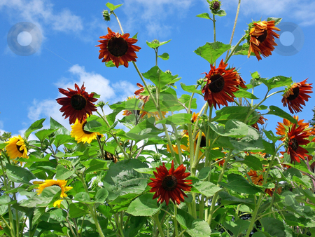 Sunflowers against blue summer sky stock photo,  by J.G. Byers